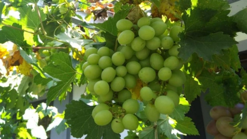 Kampung Wisata Anggur Plumbungan