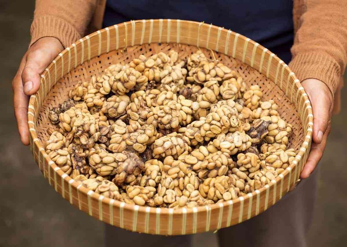 Kopi Luwak Mataram Kotagede Menjadi Tempat Produksi Kopi Luwak di Jogja